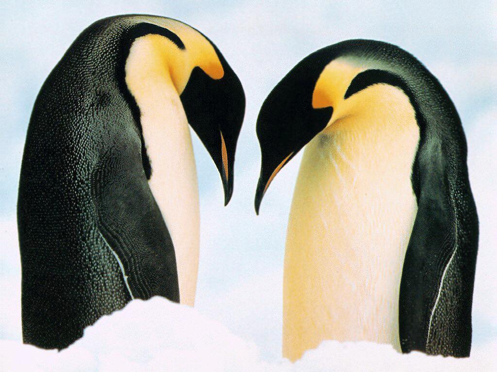 pinguins1b - Animal wallpaperz