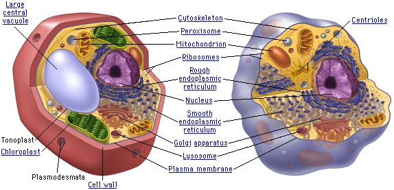 They do not burst animal cells are different they do not have cell