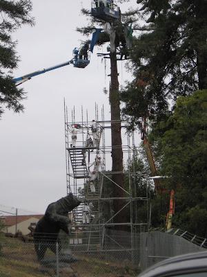UC Berkeley scaffolding going up around tree sitters