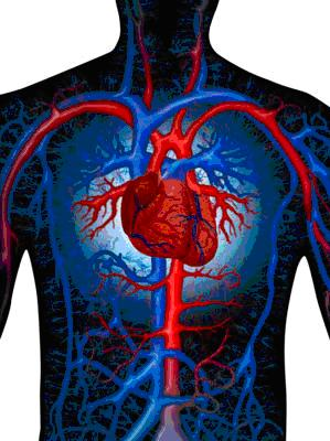 external image vidya+sury+circulatory+system.JPG