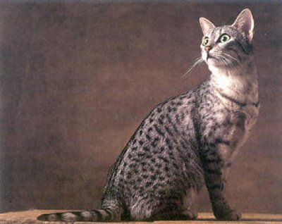 Egyptian Mau is the oldest