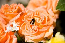 Flora Danica Poulsen roser