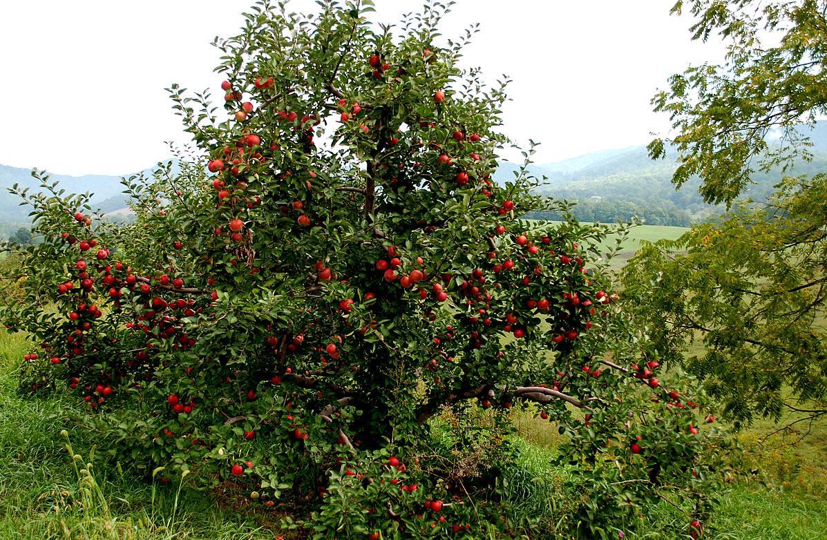 Pohon apel pohon apel dapat berkisar ukuran 6 30 meter tingginya