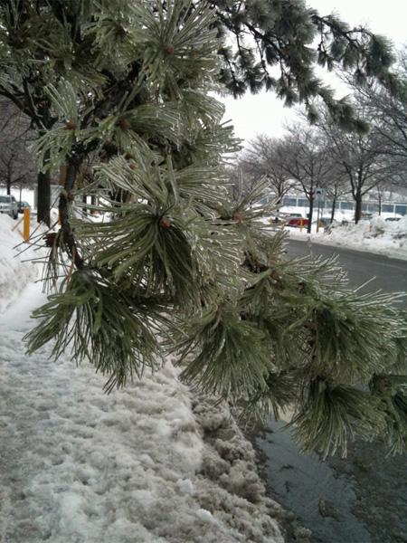 An icy pine tree