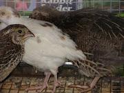 white quail