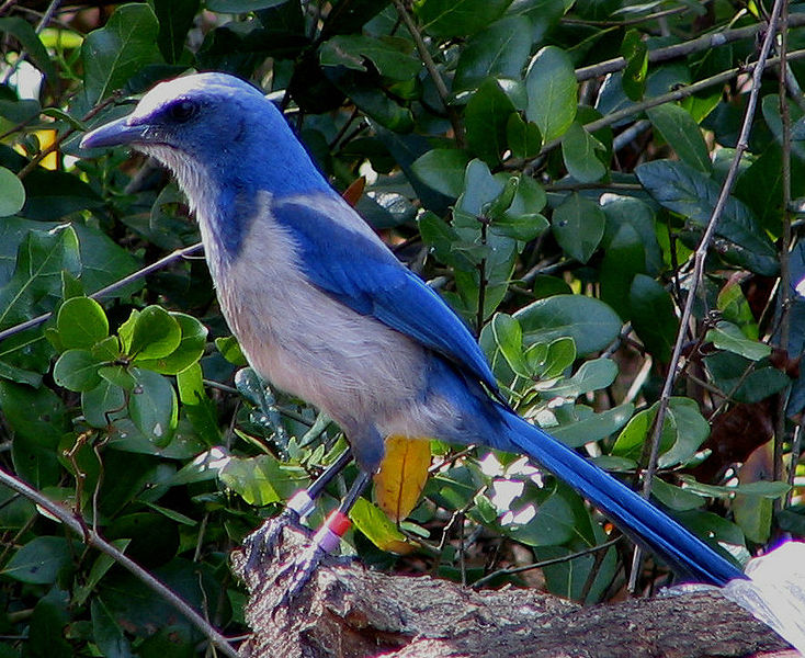 Bird only lives in florida. of course, it's their state bird