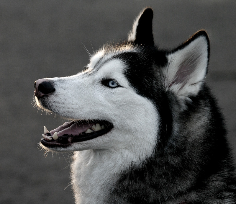 Dog cute dog siberian husky training a difficult task - Pictures of siberian huskies ...