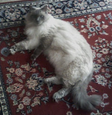 'Dudley', Ragdoll, loves long walks