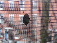 stink bug screen window