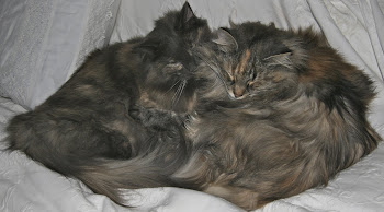 Our Beautiful Norwegian Forest Cats