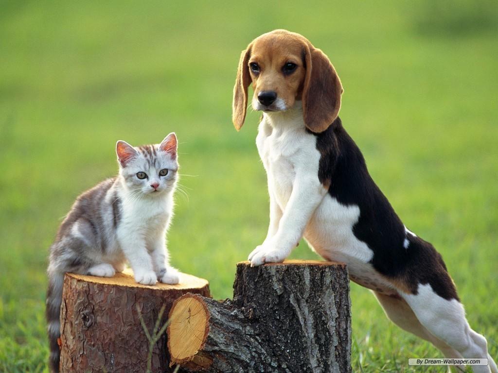 http://1.bp.blogspot.com/_aAh8TdikA7A/TMsEhZn39ZI/AAAAAAAAAJg/-yQp57Xdu3E/s1600/Beagle-Wallpaper-dogs-7013953-1024-768.jpg
