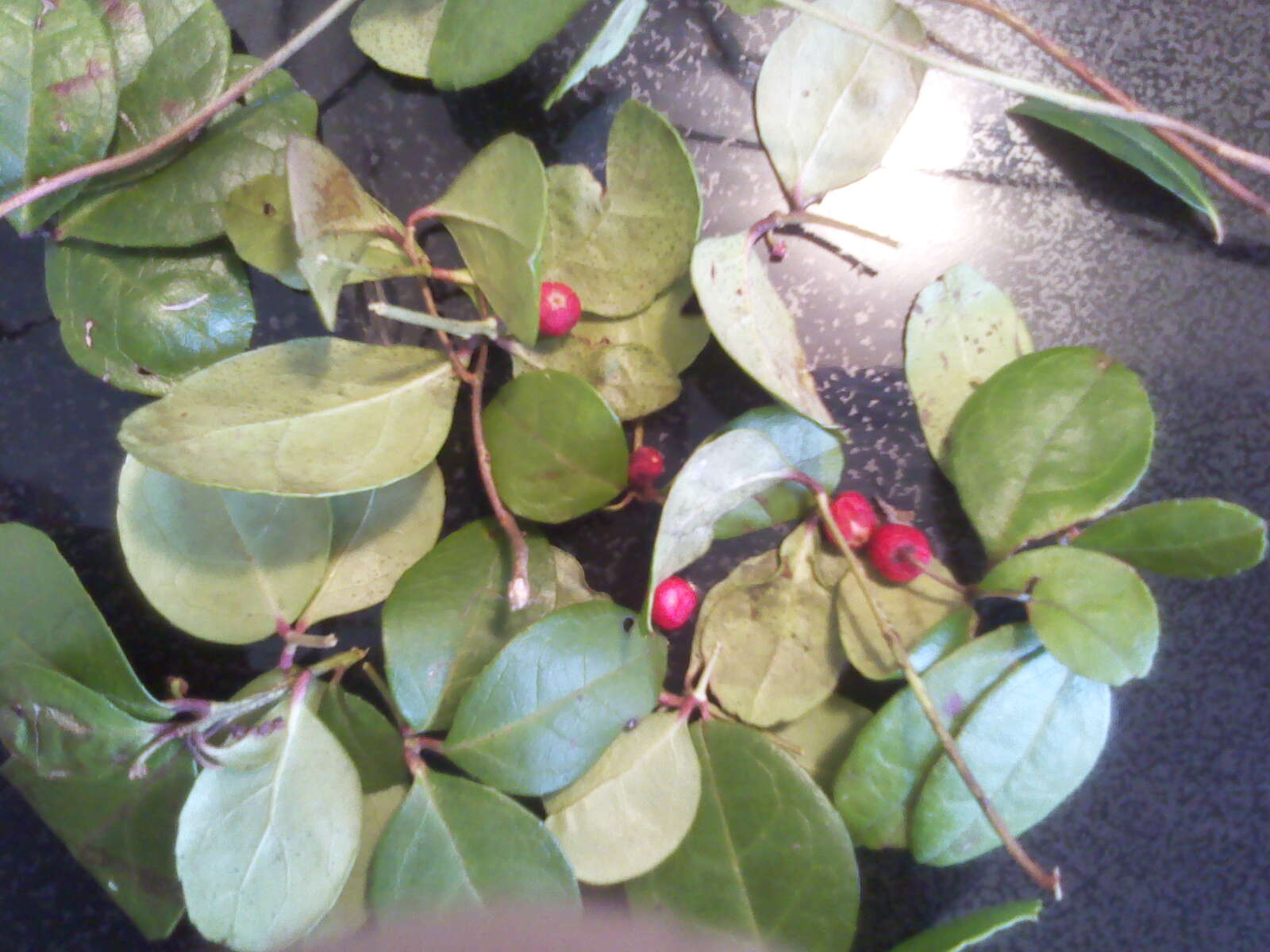 [wintergreen+leaves+and+berries]