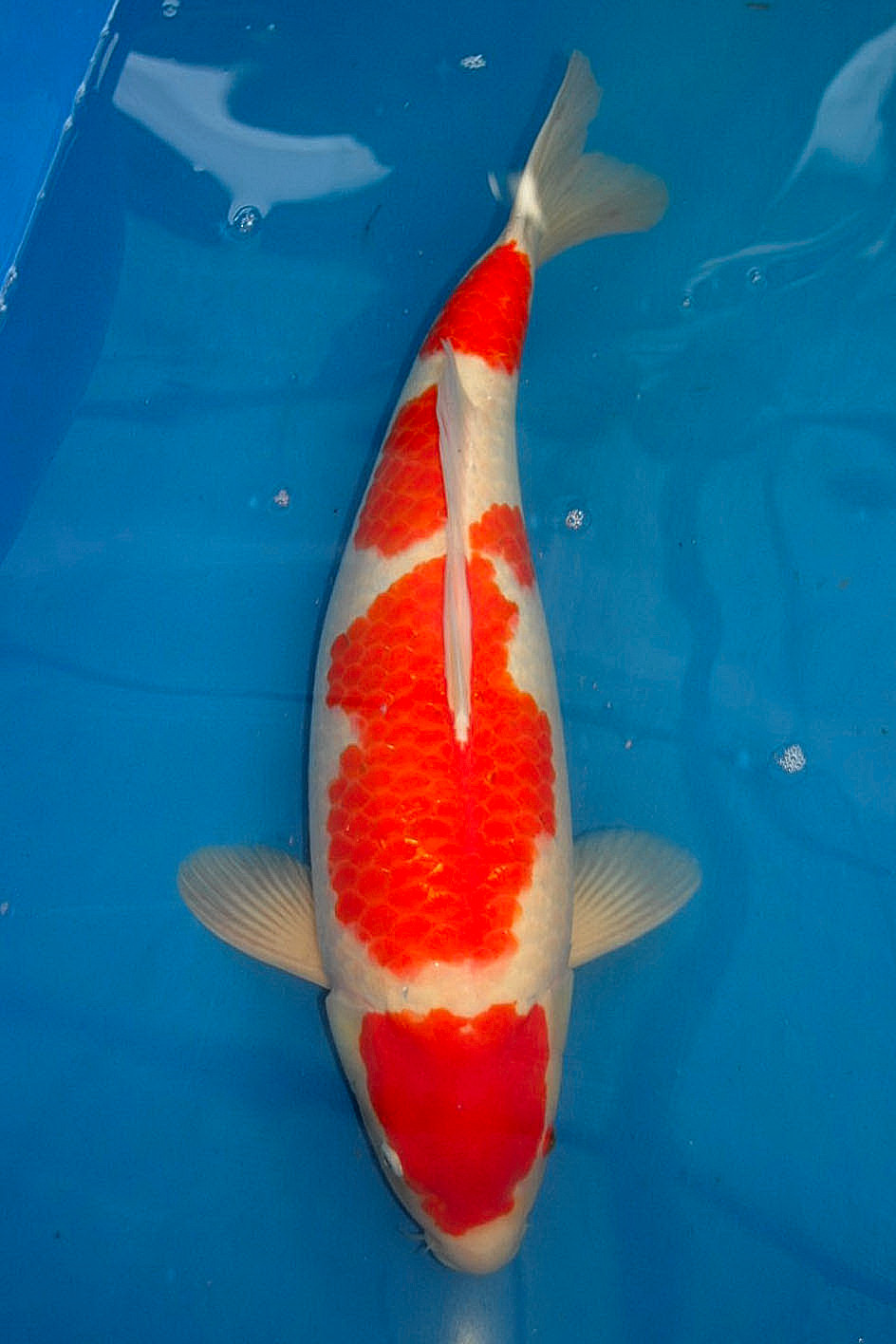 Best koi high grade koi from oishi koi farm for sale for Koi breeders near me
