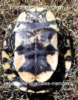 Como saber si tu tortuga es macho o hembra. Trachemys-blog-ventral-