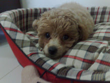Twinkle - A Playful Toy Poodle