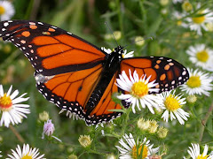 save Frost Valley's Monarchs