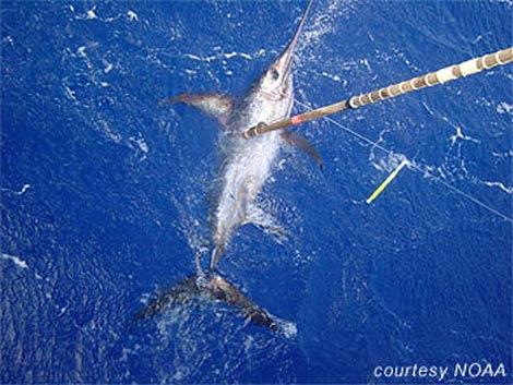 Animales acuaticos pez espada for Curiosidades del pez espada