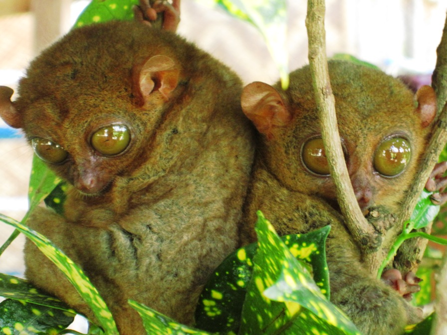 tarsiers - The Inseparable Duo - Philippine Photo Gallery