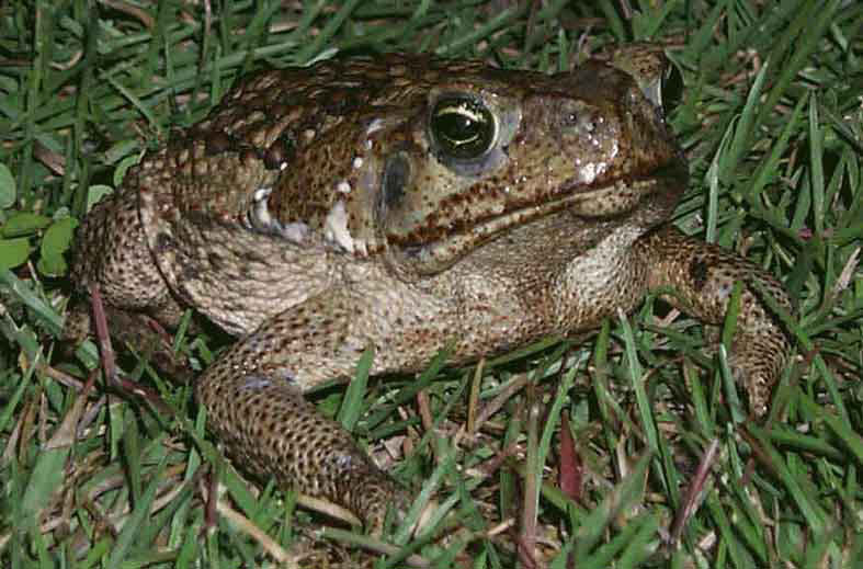 Pinellas County Extension Thinking Green: Poisonous Toad ... Poisonous Green Frogs In Texas