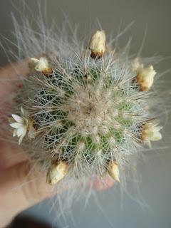 cactusii de toate felurile(ingrijirea si inmultirea lor) !!!!!! Cactus3