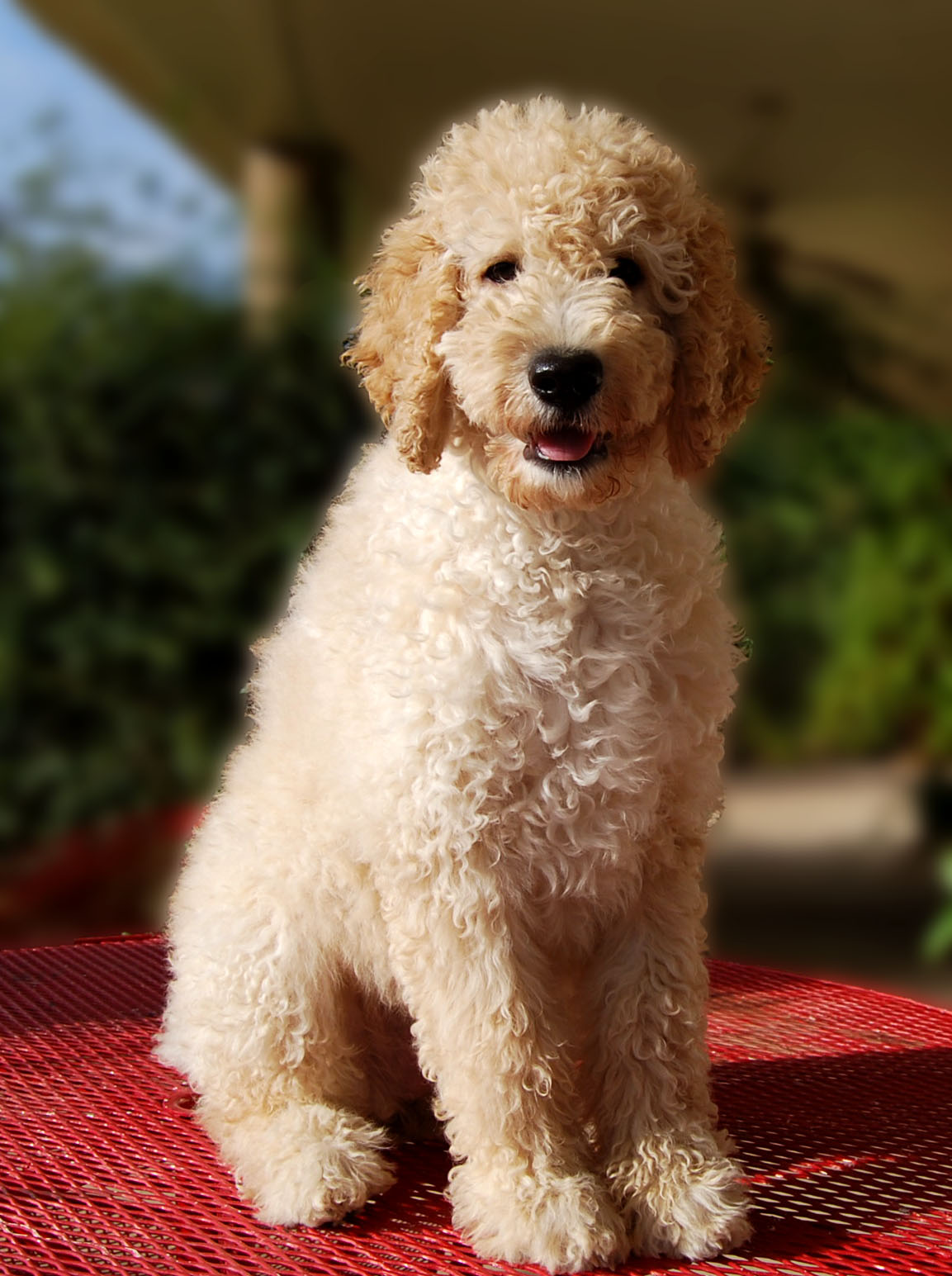 Pictures of Labradoodle Haircuts http://sweetiepiepups.blogspot.com/2010/07/guess-who-got-haircut.html
