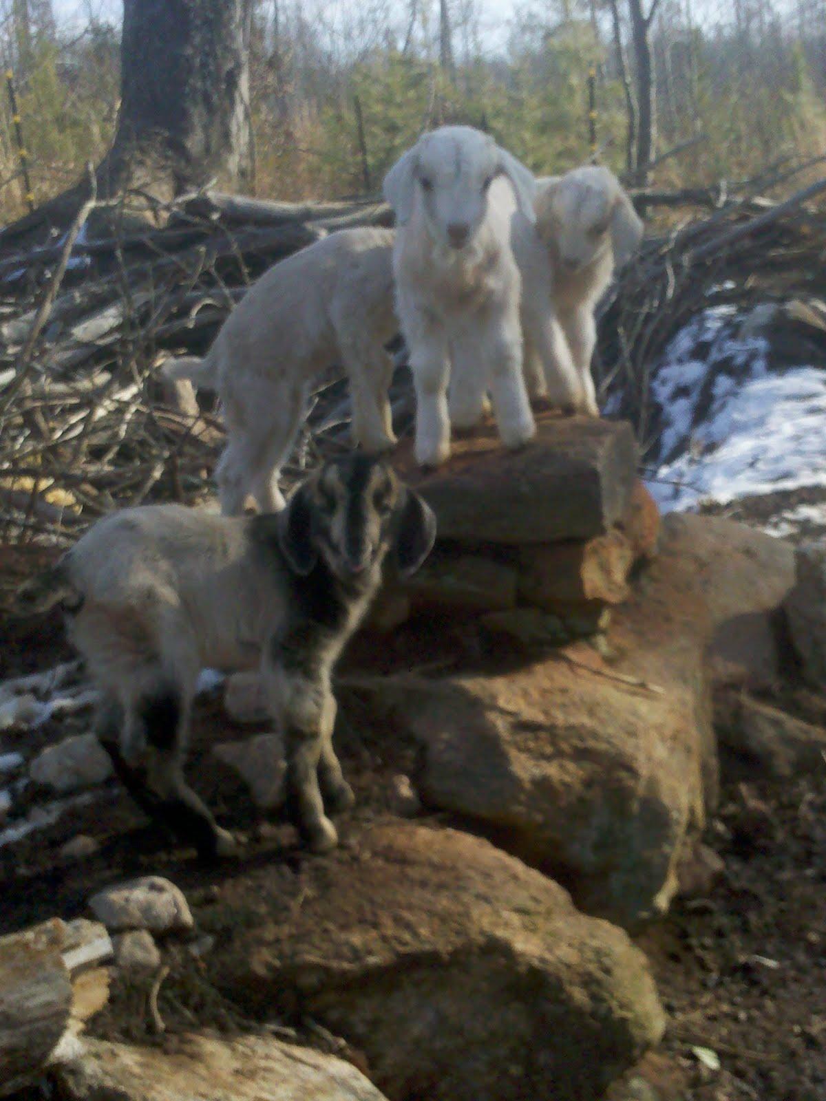 Generation Farm Kiko Goats 2010