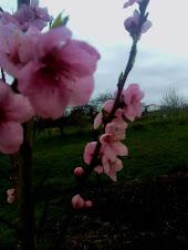 la piescal en flor