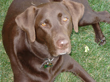 Pepsi, our Chocolate Lab!