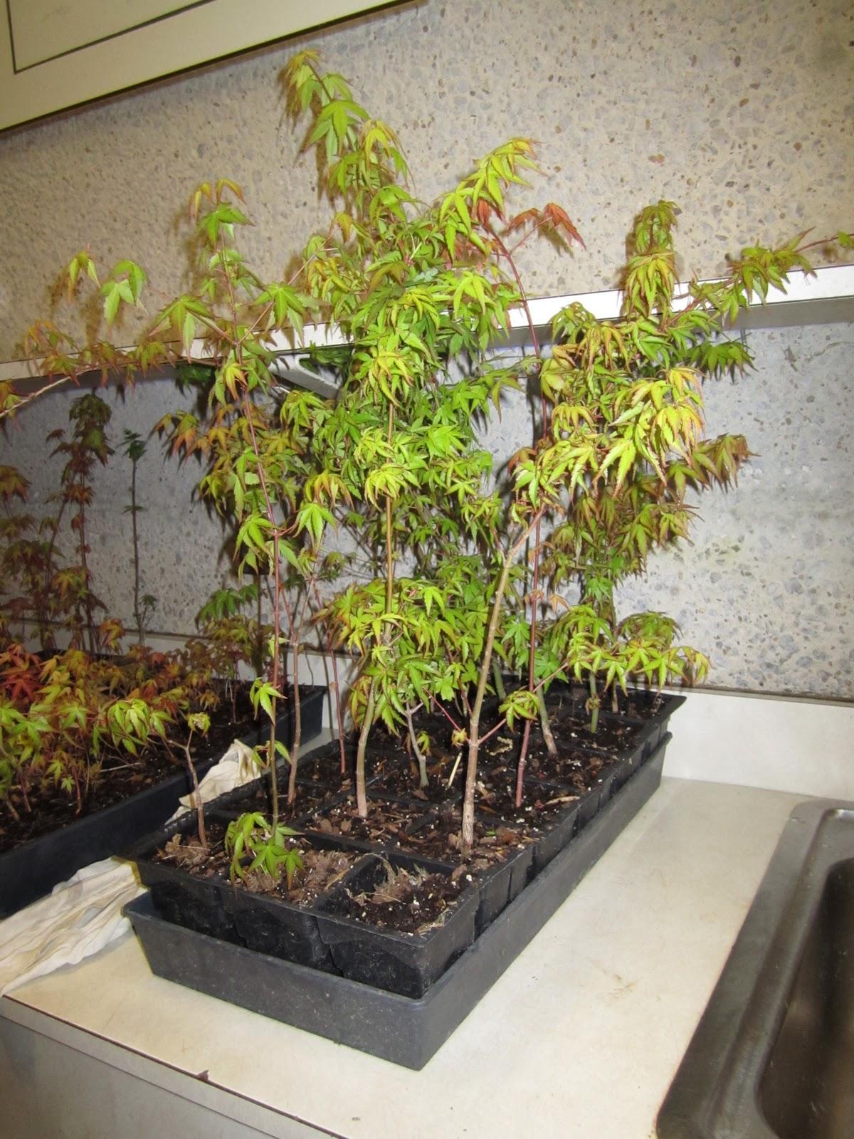 Gone Walkabout Bonsai Class Kabudachi Maple