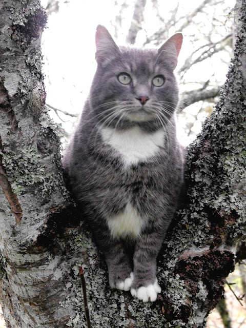 Gray cat with white bib in tree