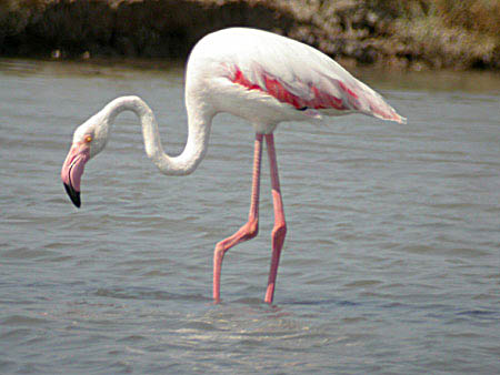 "Mengenal spesies si kaki jenjang ""Flamingo"" GreaterFlamingo1PolchnitosSaltPansedit"