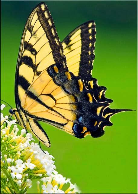 Tipos de mariposa