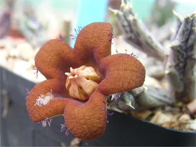 Piaranthus decipiens