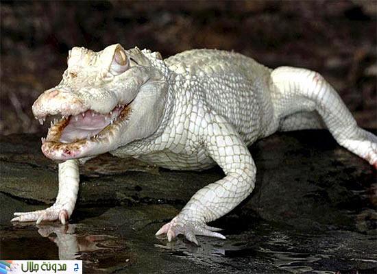 حيوانات ناصعه البياض Albino+alligator
