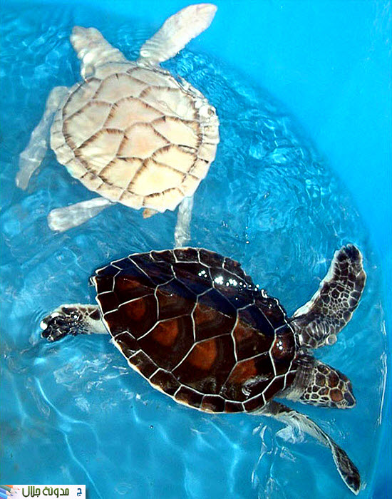 حيوانات ناصعه البياض Another+turtle+albino