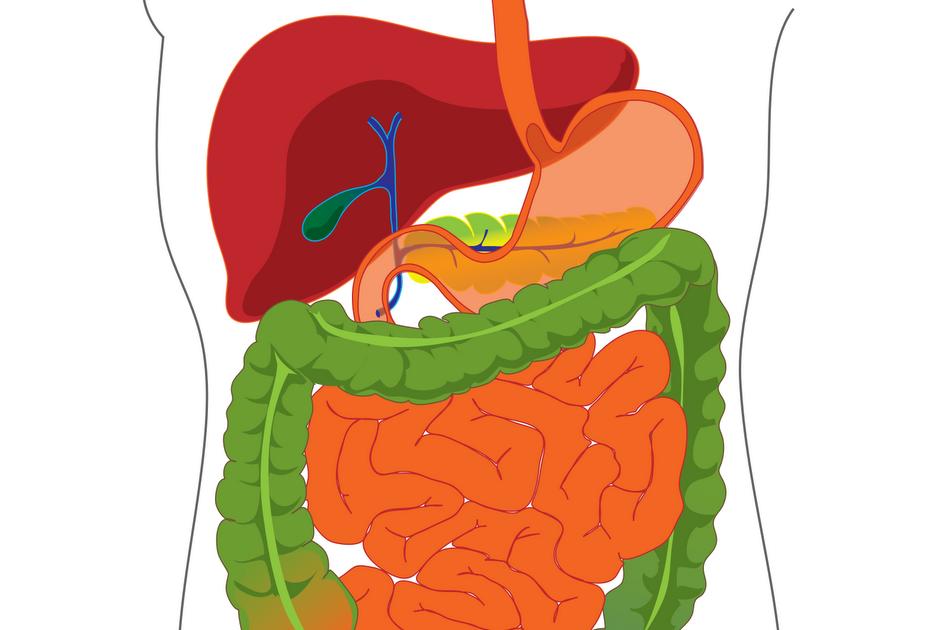 Bi207 human a p ii digestive system and metabolism ccuart Gallery
