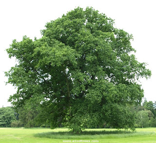 quercus-robur-tree-traditional.jpg