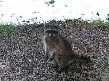 Visiting Raccoon