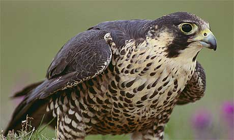 [falcon10b.jpg]