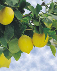 The Lemon Detox Diet is Effective for Both Cleansing and Weight Loss