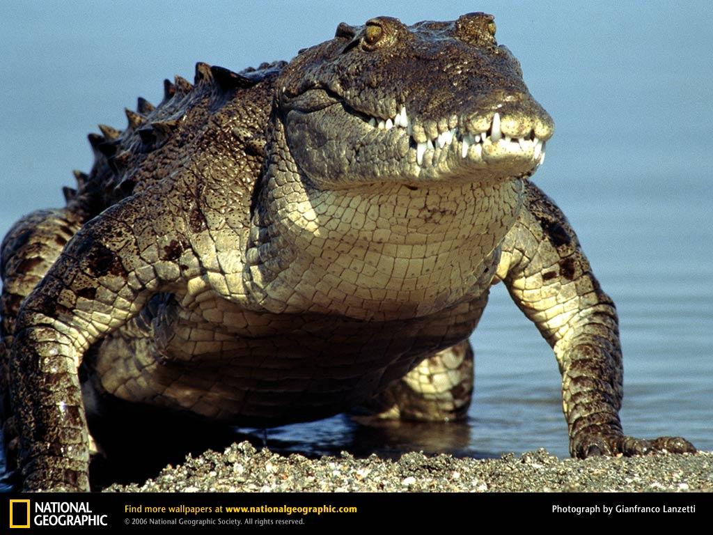 american crocodile emerging water Young asian teen boy being teen nude outdoor