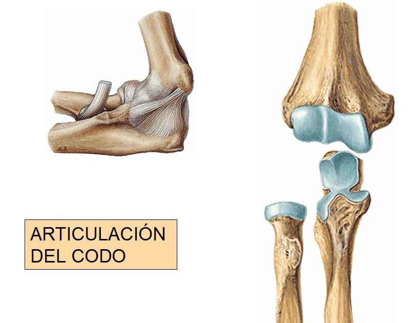 anatomia humana: ARTICULACION DEL CODO