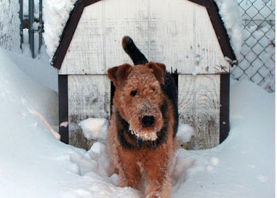Airedale for pet portrait