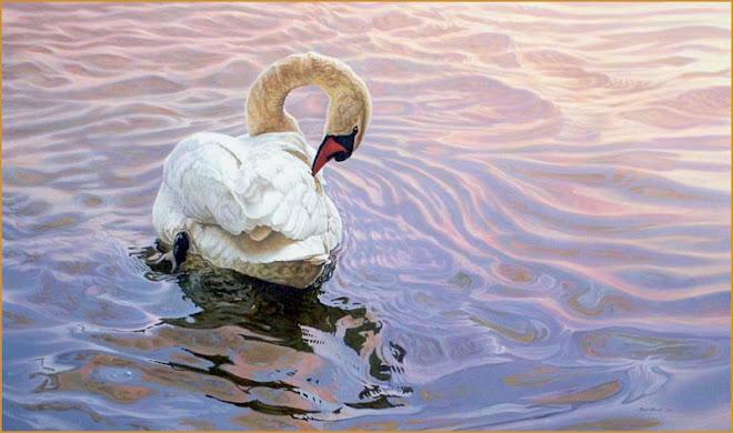 Mute Swan,  Cootes Paradise, Hamilton Ontario