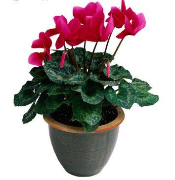 Plantas estacionales - Plantas de navidad cuidados ...