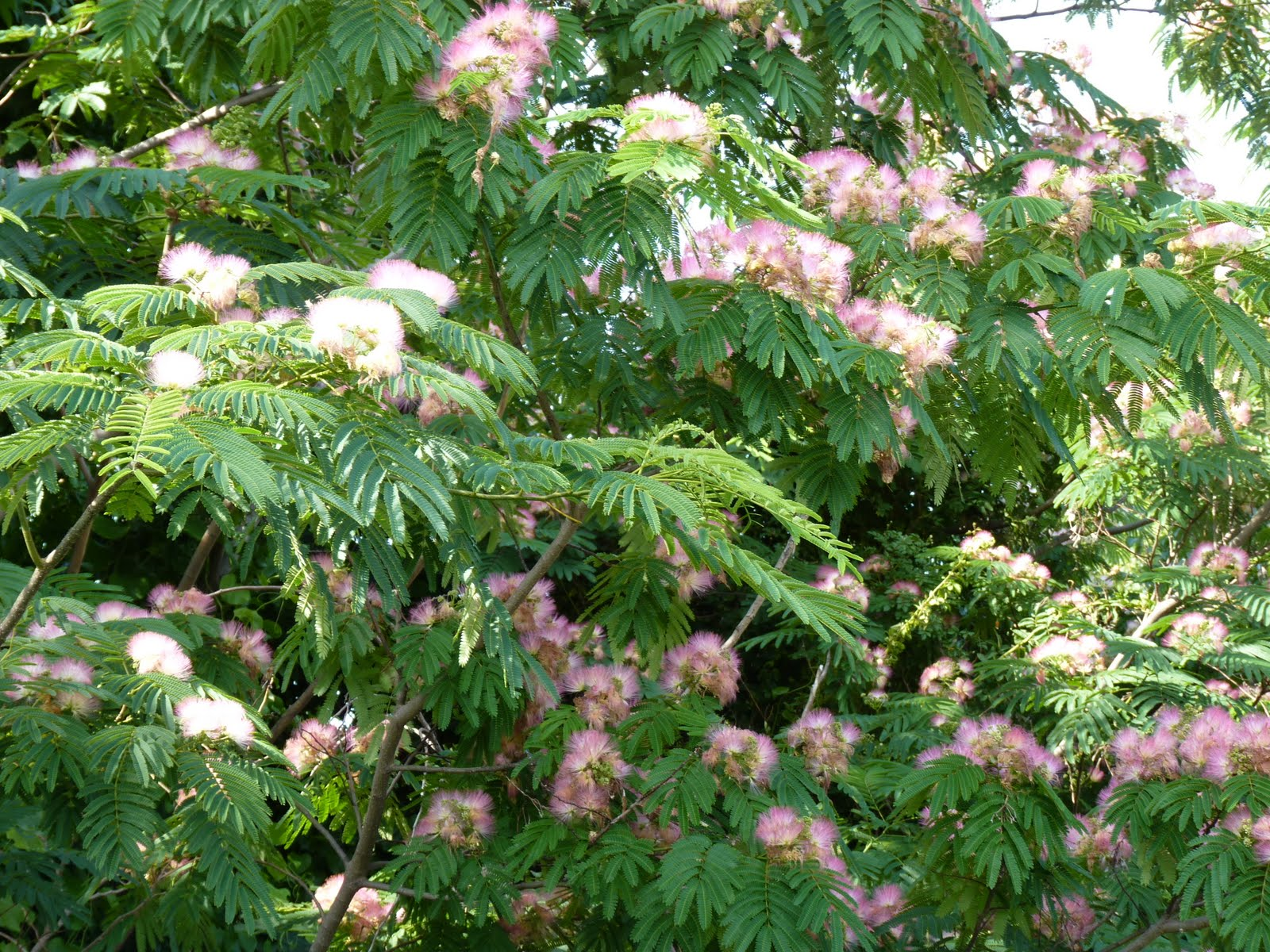 Fern like tree with pink flowers gallery flower decoration ideas fern like tree with pink flowers images flower decoration ideas fern like tree with pink flowers mightylinksfo