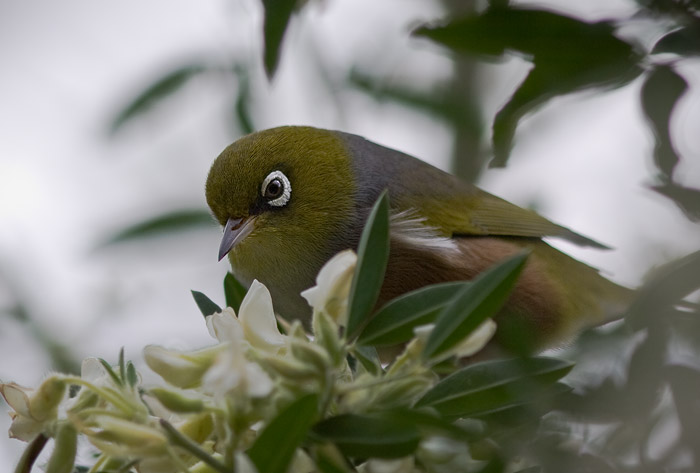 silvereye