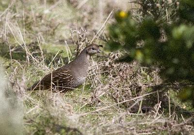 Californian quail, female