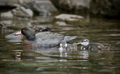 Whio and chicks in the Waikamaka River