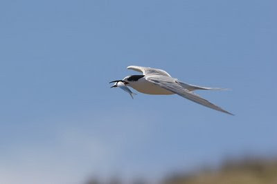 White-fronted tern with fish